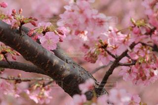 淀の河津桜の写真・画像素材[4243968]