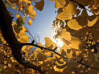 空,秋,紅葉,文字,太陽,黄色,葉,樹木,イチョウ,コピースペース,草木,スペース,文字入れ