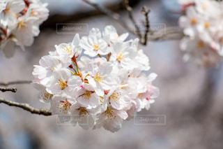 花,春,桜,木,きれい,綺麗,フラワー,花見,サクラ,美しい,お花見,イベント,チェリー,草木,スプリング,さくら,キレイ,ブロッサム