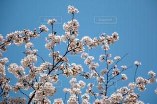 風景,空,花,春,桜,木,屋外,きれい,綺麗,フラワー,青い空,花見,景色,美しい,樹木,お花見,イベント,チェリー,景観,草木,桜の花,キレイ,ブロッサム