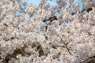風景,花,春,桜,木,きれい,綺麗,フラワー,花見,景色,サクラ,美しい,お花見,イベント,チェリー,景観,草木,スプリング,桜の花,さくら,キレイ,咲き乱れる