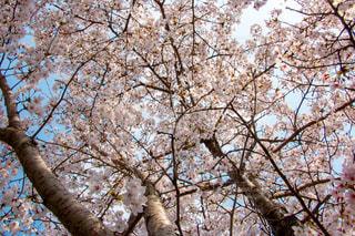 風景,空,花,春,桜,木,屋外,きれい,綺麗,フラワー,花見,景色,サクラ,美しい,樹木,お花見,イベント,景観,草木,スプリング,桜の花,さくら,キレイ,ブロッサム,咲き乱れる