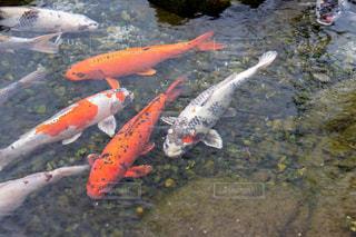 動物,魚,屋外,きれい,綺麗,池,鮮やか,コイ,鯉,キレイ,淡水魚,ヒゴイ