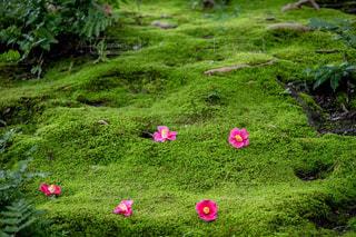 風景,花,春,屋外,緑,きれい,綺麗,フラワー,鮮やか,椿,コケ,苔,ツバキ,景観,草木,キレイ,つばき