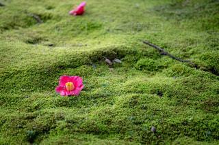 風景,花,屋外,京都,緑,きれい,綺麗,フラワー,椿,美しい,コケ,苔,ツバキ,景観,こけ,キレイ,つばき,城南宮