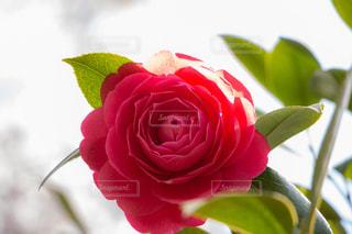 花,植物,赤,きれい,綺麗,フラワー,日差し,椿,美しい,ツバキ,キレイ,つばき
