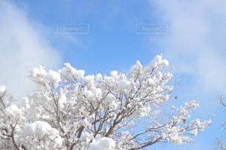 空,花,雪,屋外,青い空,樹木,草木,日中