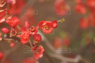 真っ赤な木瓜の写真・画像素材[3026025]