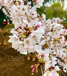花,春,桜,花見,さくら
