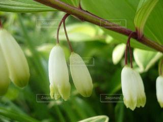 花,緑,白い花,草木,オオアマドコロ