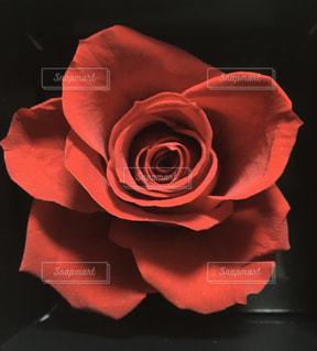 花,赤,バラ,暗い,花びら,草木