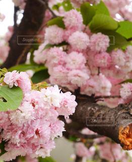 桜の通り抜けの写真・画像素材[3061603]