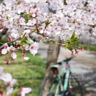 桜と自転車の写真・画像素材[3077609]