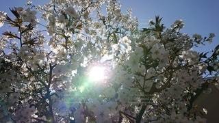 空,花,樹木,ブロッサム
