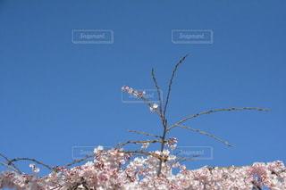 空,花,春,桜,花見,ブロッサム