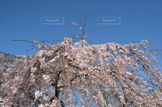 空,花,春,桜,花見,樹木