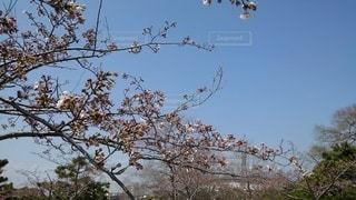 花,桜,屋外,花見,樹木,草木