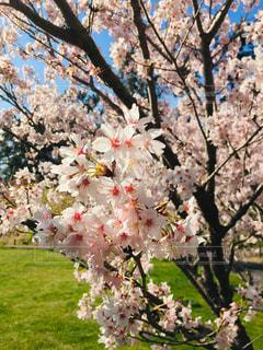 花,春,桜,屋外,植物,満開,桜の花,さくら