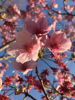 花,春,桜,ピンク,青空