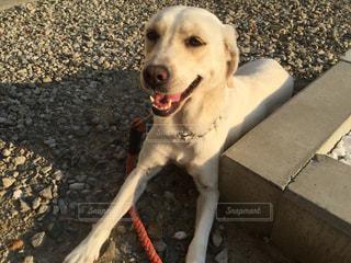 犬,動物,かわいい,散歩,景色,地面,子犬,ラブラドール,伏せ,レトリーバー