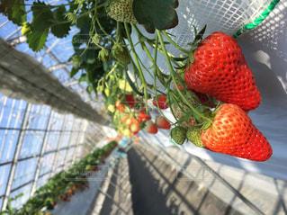 食べ物,春,赤,果物,いちご狩り,イチゴ