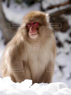 猿,動物,雪,霊長類,サル