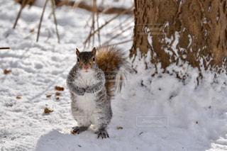 雪に覆われた地面に立っているリスの写真・画像素材[3027598]