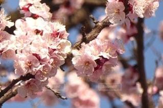 花,春,樹木,梅の花,草木