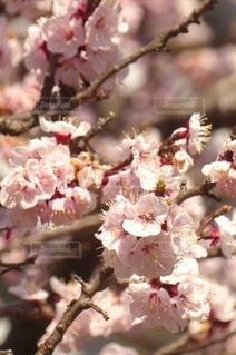 花,春,ピンク,梅の花,草木