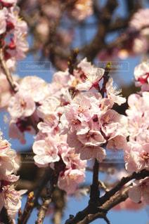 花,春,梅の花,草木