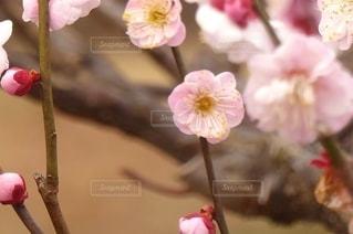 花,ピンク,梅の花,草木