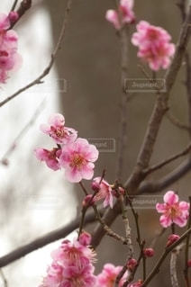 風景,花,春,ピンク,梅の花,草木