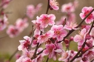 花,ピンク,鮮やか,梅の花,草木