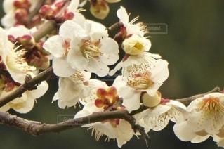 花,春,白,樹木,梅の花,草木
