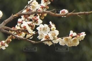 花,春,屋外,白,枝,樹木,梅の花,草木