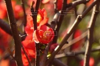 花,春,赤,樹木,梅の花,草木,紅梅