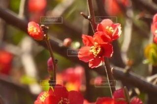 花,春,赤,梅の花,草木,紅梅