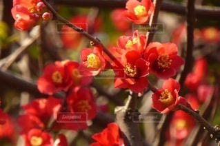 花,赤,梅の花,草木,紅梅