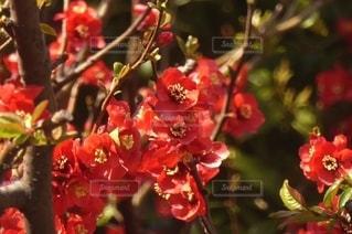 花,赤,樹木,梅の花,紅梅