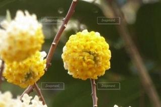 花,春,黄色い花,草木,ミツマタ,丸い花,三椏