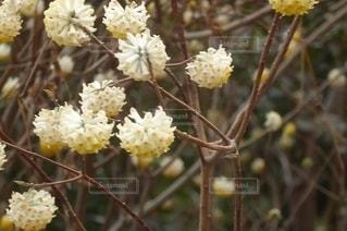 花,春,黄色い花,草木,ミツマタ,三椏
