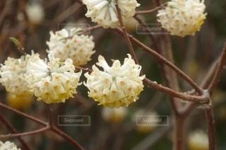 花,春,白,黄色,黄色い花,草木,ミツマタ,三椏