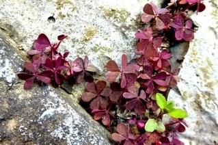 屋外,葉,地面,野草,石,草木,カタバミ