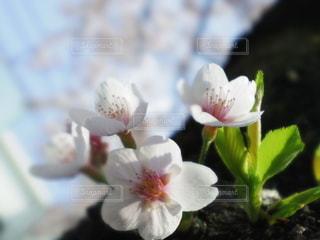 空,花,春,桜,お花見,草木