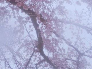 自然,春,桜,雪,屋外,雪景色,樹木,草木