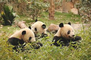 動物,パンダ,中国,四川,ジャイアント パンダ