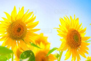 風景,花,夏,ひまわり,黄色,景色,草木