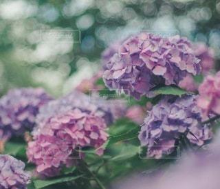 紫陽花と光の写真・画像素材[3393221]