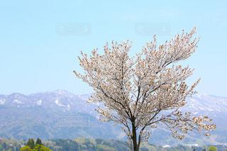 春,青空,桜の木,山桜,春の風景,信濃の春,北信濃