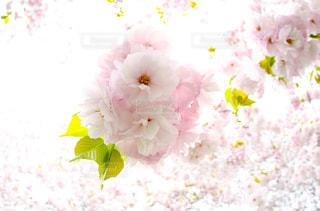 花,春,桜,きれい,花見,満開,爽やか,ブーケ,アップ,八重桜,ピンク色,春の花,ヤエザクラ